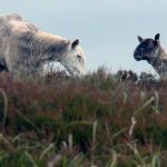 Sheep Grazing in Ireland