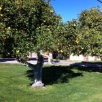 picture of an orange tree in Scottsdale, AZ